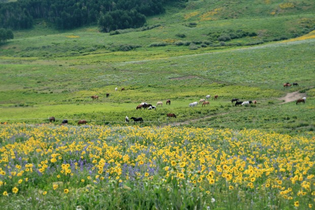 Horses in wildflower pasture