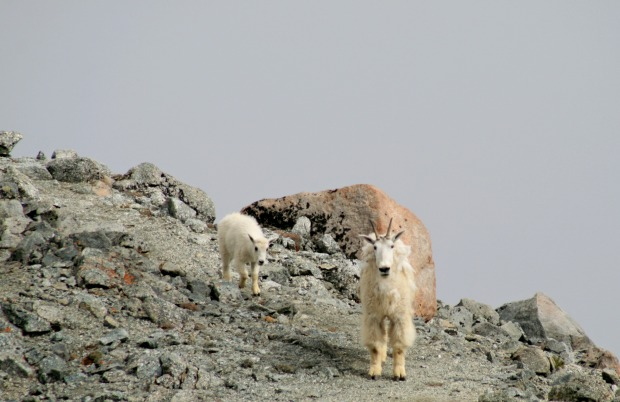 Mountain Goats Mt Massive.jpg